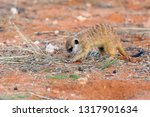 the meerkat or suricate ... | Shutterstock . vector #1317901634