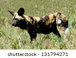 An African Wild Dog In It's...