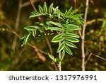 new leaves on a small rowan... | Shutterstock . vector #1317976991