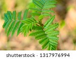 new leaves on a small rowan... | Shutterstock . vector #1317976994
