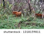 horse in a polylepis forest at... | Shutterstock . vector #1318159811