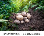 fresh organic potatoes in the... | Shutterstock . vector #1318233581