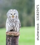Close Up Of An Ural Owl