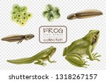 Frog Life Cycle Stages...