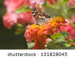 Painted Lady Butterfly On Pink...
