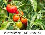 Tomatoes In Rain  Organic...