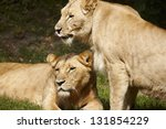 close up of lionesses on the...   Shutterstock . vector #131854229