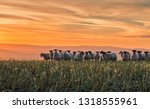 herd of sheep grazing on hilly...   Shutterstock . vector #1318555961