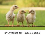 group of small chicks | Shutterstock . vector #131861561