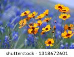 Wildflowers   Yellow Coreopsis...