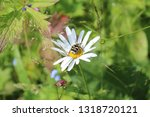 An Beetle On A Daisy In Green...