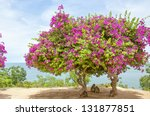 A Pink Bougainvillea Tree...
