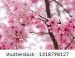 blooming pink cherry blossoms | Shutterstock . vector #1318798127