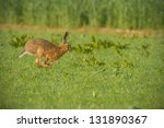 Stock photo brown hare running for cover 131890367