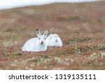 Stock photo white mountain hare sitting on snow in the cairngorms of scotland wild mountain hares are native 1319135111