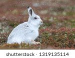 Stock photo white mountain hare sitting on snow in the cairngorms of scotland wild mountain hares are native 1319135114