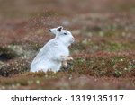 Stock photo white mountain hare sitting on snow in the cairngorms of scotland wild mountain hares are native 1319135117