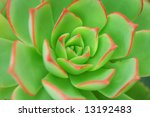 Green Aeonium Background