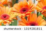 Orange Gerbera Daisy Golden...