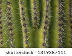 saguaro cactus close up macro... | Shutterstock . vector #1319387111