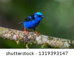 shining honeycreeper  cyanerpes ... | Shutterstock . vector #1319393147
