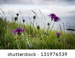 Greater Knapweed  Centaurea...