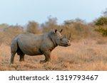 White Rhinoceros Or Square...