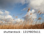 A Field Of Reeds On A Hill
