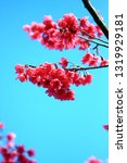 cherry blossoms in spring | Shutterstock . vector #1319929181