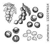hand drawn set of macadamia... | Shutterstock .eps vector #1320195614