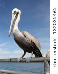 Grey Pacific Pelican With Blue...