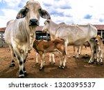 Herd Of Brahman Beef Cattle...