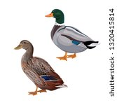 Male And Female Mallard Duck....