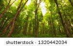 beautiful morning green forest | Shutterstock . vector #1320442034