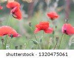 Poppy Flower Shot In High Key.  ...