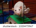 pet rat looking out from an... | Shutterstock . vector #1320475967