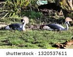 A Picture Of 2 Crowned Cranes...