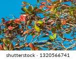 Great Green Macaw  Ara Ambiguu...