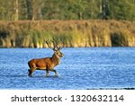 red stag cross through a pond | Shutterstock . vector #1320632114