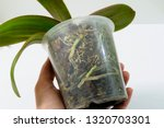 orchid plant with diseased root ... | Shutterstock . vector #1320703301