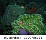 underwater world indonesia   Shutterstock . vector #1320706391