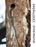 Tail Of Indian Rat Snake...