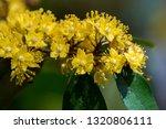 yellow star or schoutenia king... | Shutterstock . vector #1320806111