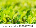 close up natural view of green... | Shutterstock . vector #1320817634