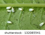 Greenhouse whitefly  ...