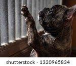 Sad Brindle French Bulldog...