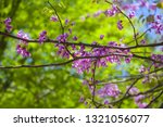 Blossoming Of The Eastern...