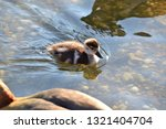 Egyptian Goose Gosling Swimming