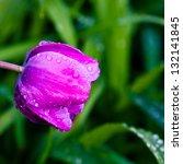 Purple tulip in garden after the rain. selective focus, shallow dof - stock photo