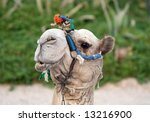 Relaxing Camel - stock photo